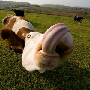 Cow Tongue