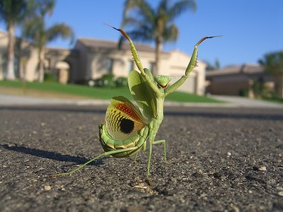 Awesome Praying Mantis